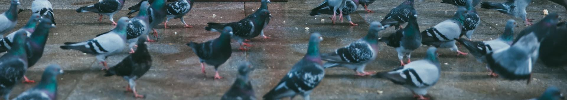 Pigeon Netting London  Bird Pest Control London Regional Environmental  Services. Sm London Rodent Control